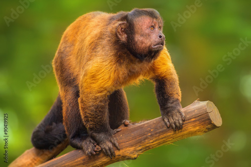 Fotografia, Obraz  Brown capuchin monkey sitting among the trees