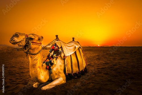 Stickers pour porte Chameau Camel in front of sunset in Hurghada/Makadi Bay, Egypt