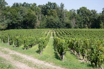 Fototapeta na wymiar Vineyards in rows. Seedlings vines.Graft of the vines.