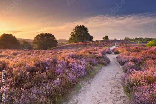 obraz PCV Path through blooming heather at sunrise in The Netherlands.