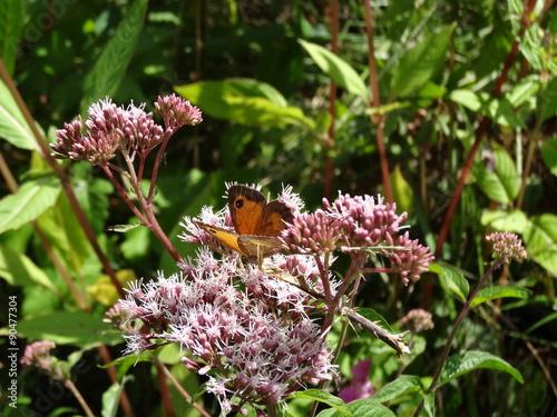 Fotografie, Obraz  Transparence des ailes de l'Amaryllis posés sur une fleur qu'il affectionne particulièrement