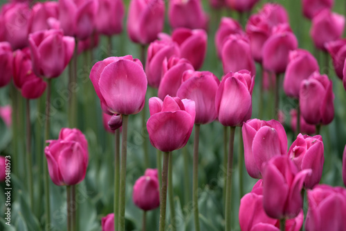 Tuinposter Roze Boston Common and Public Garden, USA..