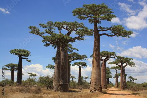 Keuken foto achterwand Baobab Baobab Allee