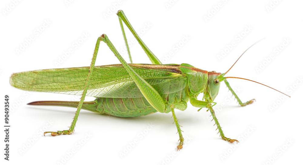 Fotografie, Obraz Green grasshopper isolated on white