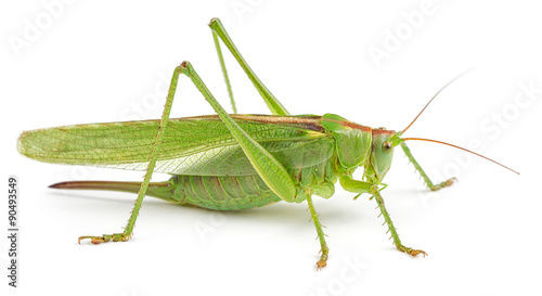 Canvas Print Green grasshopper isolated on white