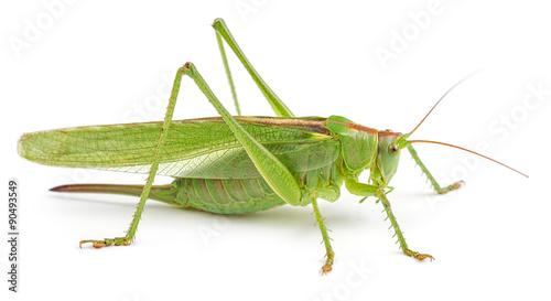 Fotografia, Obraz Green grasshopper isolated on white