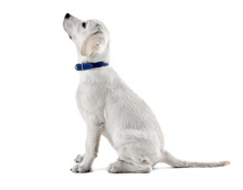 Labrador Retriever Dog Looking Up Isolated On White