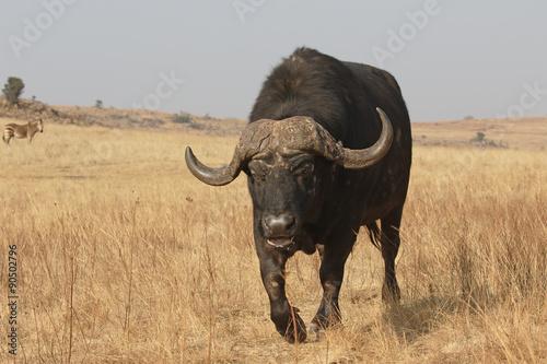 Keuken foto achterwand Buffel African buffalo, Syncerus caffer