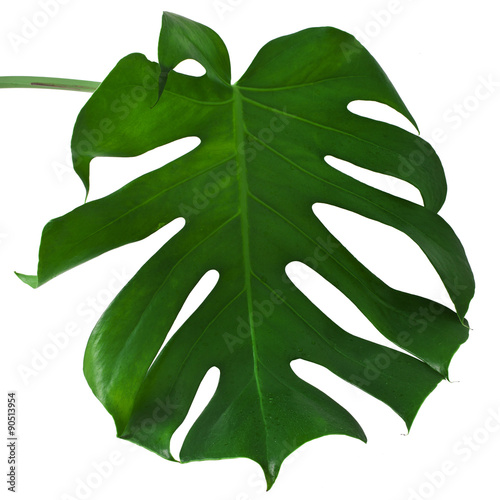 Fotobehang Draw One Big green leaf of Monstera plant, isolated on white background