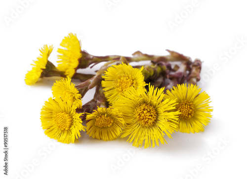 Flowers of coltsfoot (Tussilago farfara) Canvas-taulu
