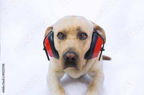 Fotografiet Labrador su sfondo bianco con cuffie