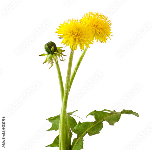 Fotografie, Obraz  Flowers and a bud of dandelion (Taraxacum officinale), isolated on white backgro