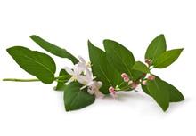 Pink Honeysuckle In Blossom (Lonicera Tatarica ) On White Background