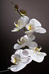 Fototapeta White Orchid, Phalaenopsis