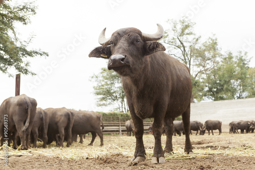 Deurstickers Buffel Buffalo breeding