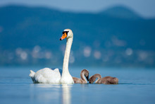 Parent Swan With Young Chicks.