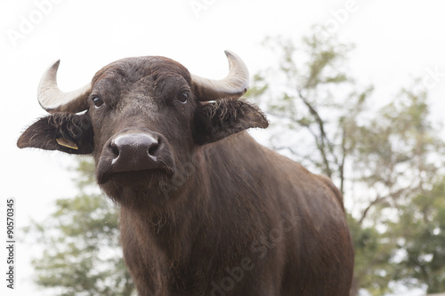 Buffalo breeding