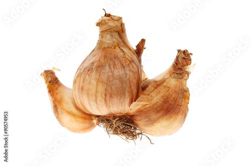 Valokuva  Daffodil bulb