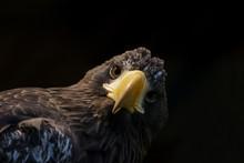 Portrait Of A Stellar's Sea Eagle