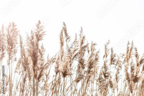 Obraz na płótnie Seedy reed stalks