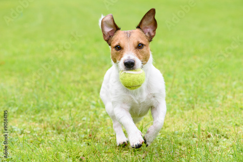 Dog with funny ears running with ball © alexei_tm