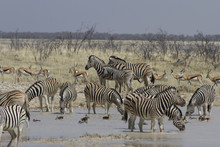 Grazing Zebra And Springbok Sh...