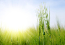 Green Barley Field In Sunny Day