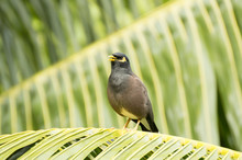 Common Myna (Acridotherestristis) Bird Singing In A Palm In Praslin Island, Seychelles