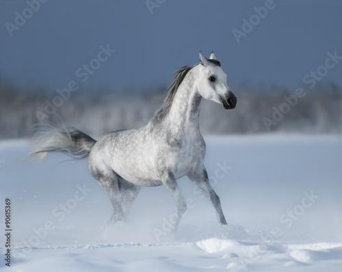 Foto op Canvas Paarden Grey arabian horse gallops on snow field