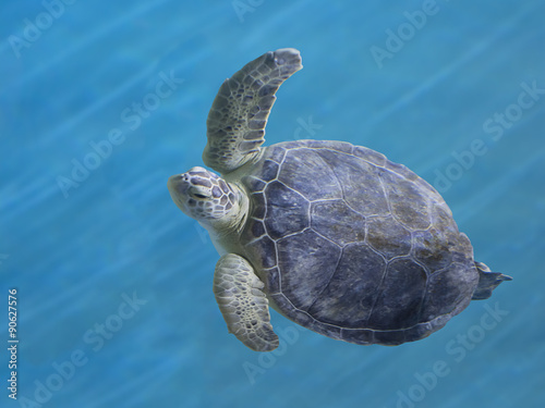 Fotografie, Obraz  Green Sea Turtle