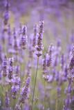 lavender - 90632105