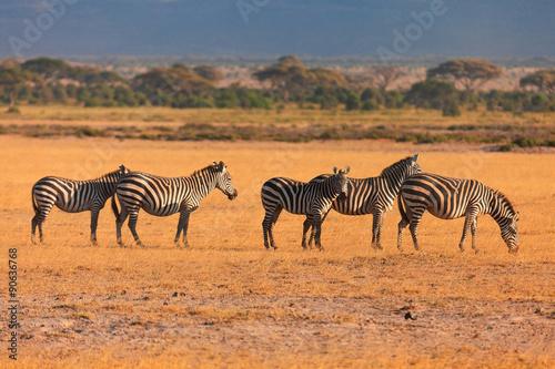 Fototapety, obrazy: Zebras, Masai Mara