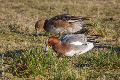 A pair of Wigeon grazing on the grass.