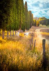 Fototapeta Inspiracje na jesień Wild horses amongst cypress trees
