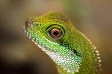 Green Water Dragon Eye