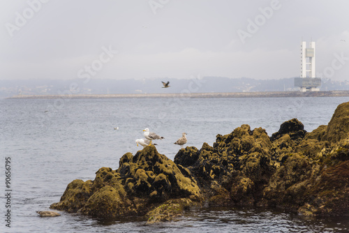 Gaviotas en la costa de La Coruña (España).