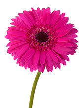 Pink Gerbera Flower On White