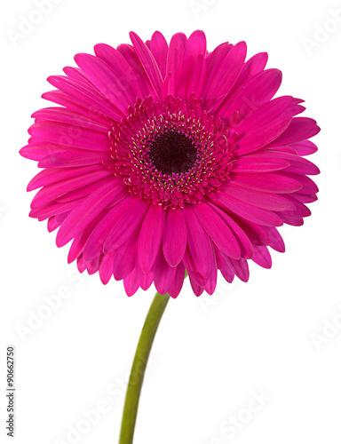 Fotografie, Obraz  Růžová gerbera květina na bílém