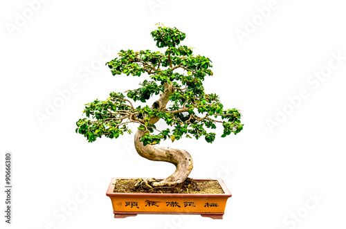 Spoed Foto op Canvas Bonsai bonsai tree Isolated