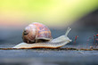 canvas print picture - Garden snail