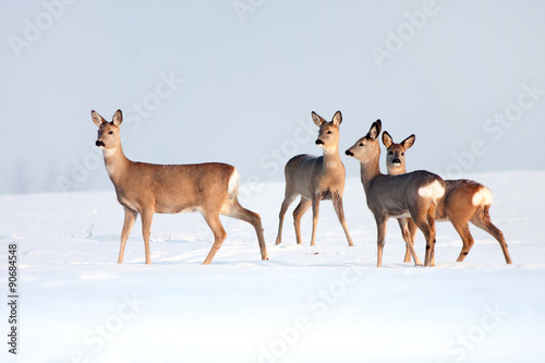 Spoed Foto op Canvas Ree Roe deer group in winter in a sunny day.