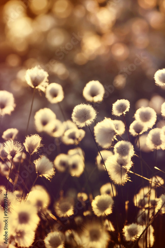 Foto op Canvas Cappuccino Blooming cotton grass on a background of a colorful sunset