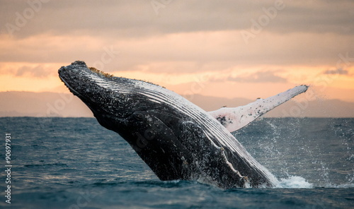 Obraz na plátne Jumping humpback whale over water. Madagascar. at sunset.