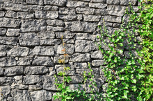 Gray Stone Wall And Ivy