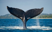 Humpback Whale Tail Above The Water. Madagascar.
