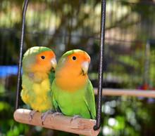 Beautiful Pet Lovebirds
