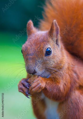 Fotobehang Eekhoorn Red Eurasian squirrel