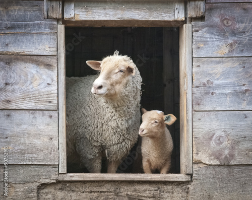 Fotografie, Obraz  Sheep and Small Ewe, in Wooden Barn Window