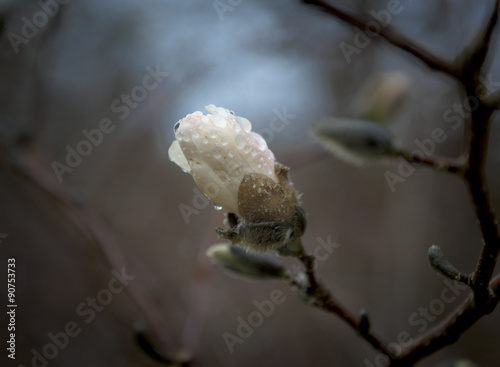 Fotografie, Obraz  Japanese Magnolia Blossom Covered in Rain Drops