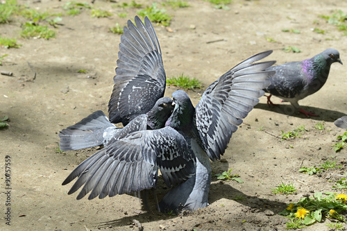 Fotografie, Tablou  Two pigeons fighting fiercely on the ground outside.